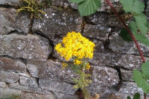 This is ragwort